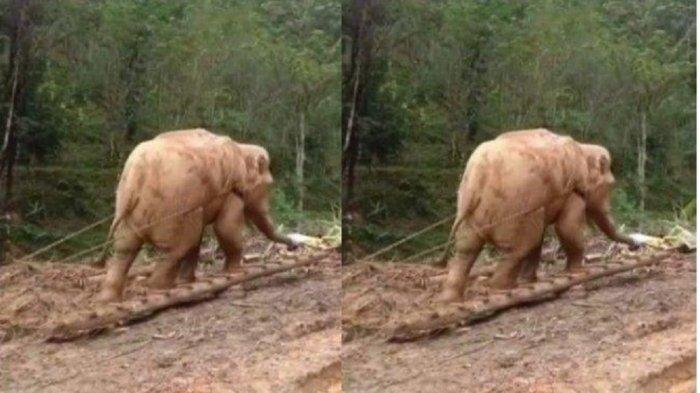Viral Gajah Dirantai dan Dipaksa Tarik Batang Pohon, Videonya Bikin Netizen Sedih