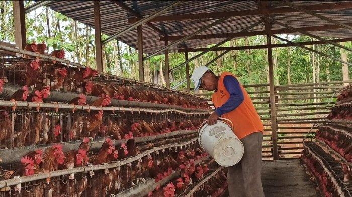 Penampakan bisnis ayam dengan kandang berjejer cukup besar dan mentereng milik Eko pembunuh Yulia di Dusun Ngesong, Desa Puhgogor, Kecamatan Bendosari, Kabupaten Sukoharjo, Senin (26/10/2020).