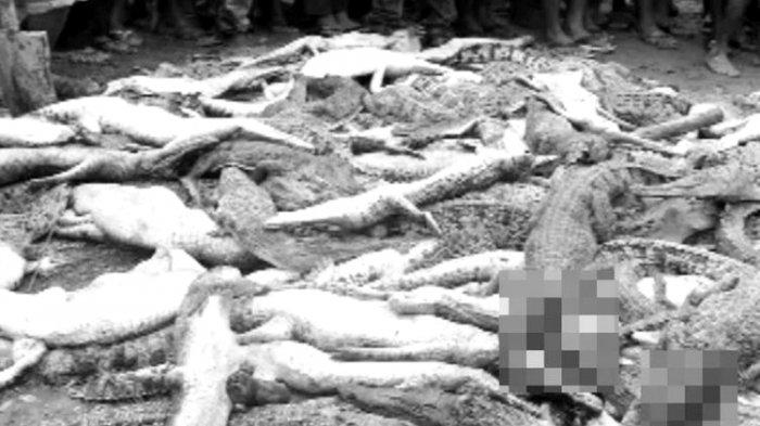 Terjadi Pembantaian terhadap Ratusan Buaya di Sorong, Ini Tindakan Polisi