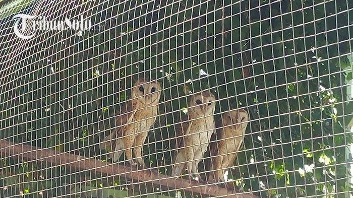 Belajar dari Petani Sukoharjo, Kendalikan Hama Tikus dengan Burung Hantu Jenis Tyto Alba