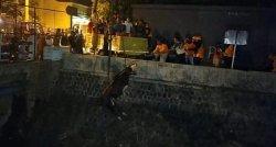 Memakan Waktu 4 Jam, Proses Evakuasi Sapi yang Nyemplung ke Kali Jenes Solo Gunakan Crane