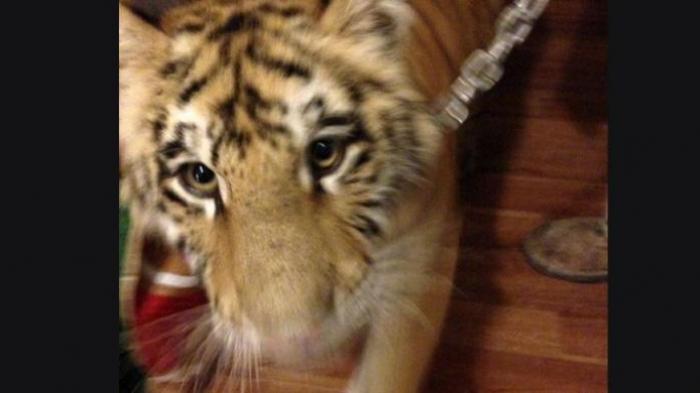 Begini Nasib Malang Wanita yang Pelihara 3 Harimau di Rumahnya