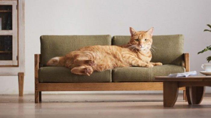 Cara Mencegah Kucing Menggaruk Barang-barang di Rumah, Salah Satunya Bisa Pakai Jeruk