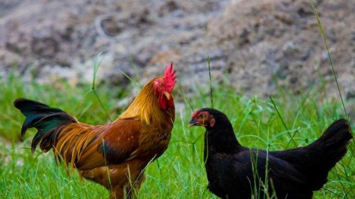 Viral Aturan Unik Desa di Wonosobo, Jika Ada Ayam Berkeliaran Boleh Ditangkap dan Disembelih Warga