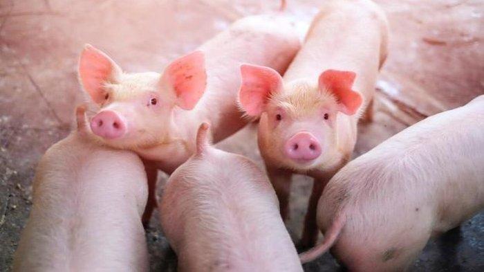Buat Aroma Busuk dan Cemari Lingkungan, Kandang Babi di Karanganyar Diprotes Warga
