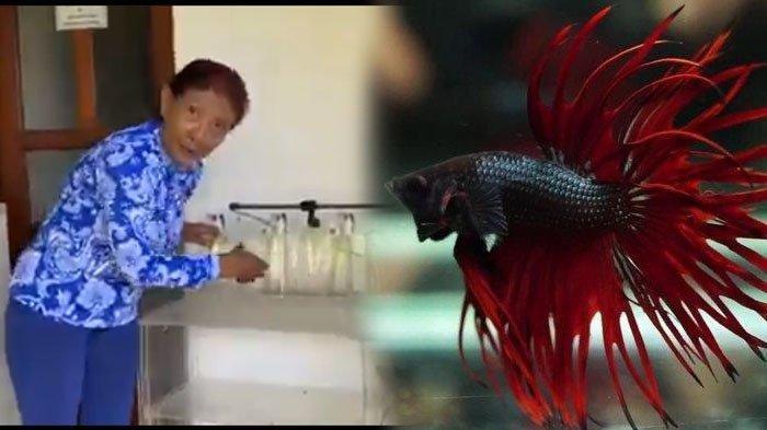 Viral Pria Klaten Kirim Ikan Cupang untuk Mantan Menteri KKP Susi Pudjiastuti, Bagikan Tips Ini