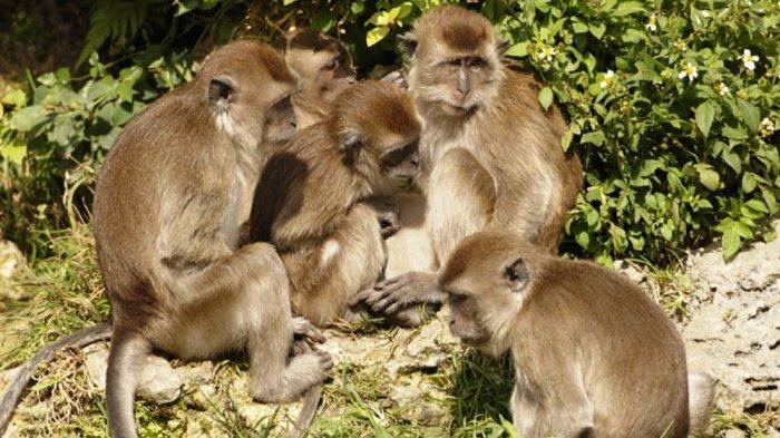 Gunung Merapi Siaga 3, Monyet Ekor Panjang Mulai Terlihat di Perkampungan Warga