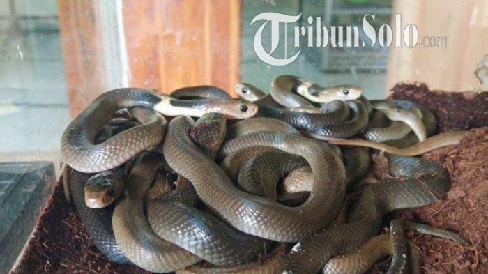 Geger Kemunculan Kobra di Danguran Klaten, Ular Sudah Masuk ke Kandang Milik Warga,Santap Telur Ayam