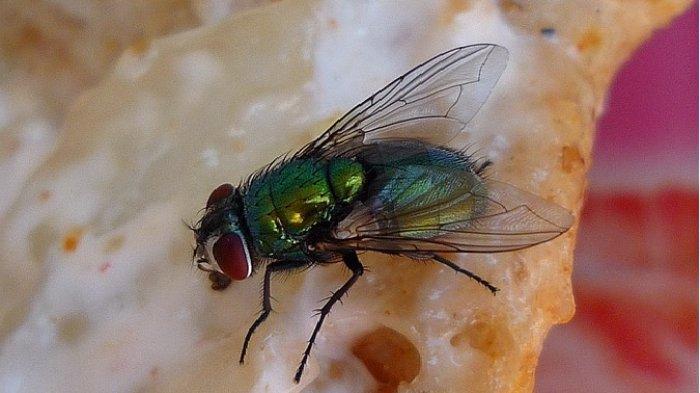 Benarkah Kita Tidak Boleh Memakan Makanan yang Telah Dihinggapi Lalat? Simak Penjelasannya