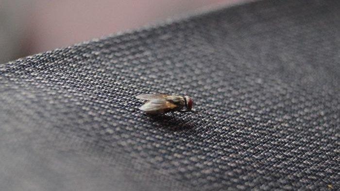 3 Cara Mengusir Lalat yang Banyak Ditemukan di Rumah, Singkirkan yang Berpotensi Menggundang Lalat