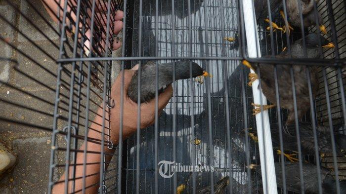 Debt Collector Mencuri Burung saat Tagih Nasabah di Lamongan, Aksinya Ketahuan Warga