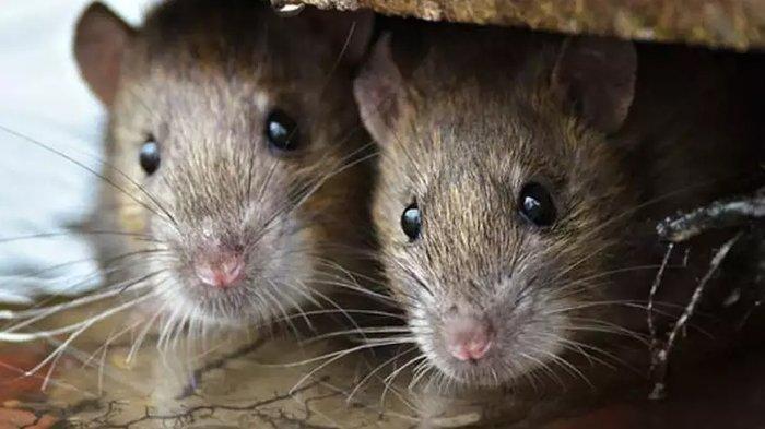 Waspada Leptospirosis di Musim Penghujan, Jangan Buang Bangkai Tikus di Jalan