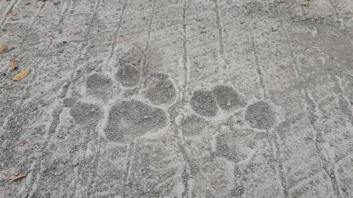 Terungkap Jejak Kaki Satwa di Jalur Evakuasi Gunung Merapi, Jejak Anjing Bukan Macan Tutul