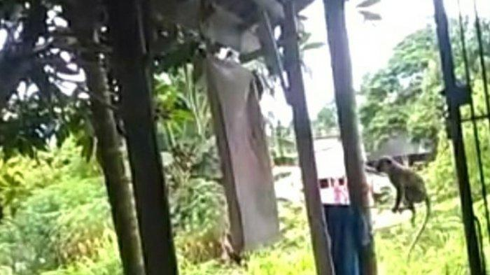 Heboh Kawanan Monyet Kelaparan di Riau, Jarah Buah di Kebun Warga, Makin Beringas saat Diusir