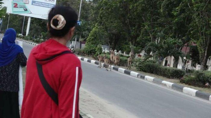Kawanan Rusa Berkeliaran di Jalanan Kota Palu Pasca Bencana Gempa dan Tsunami