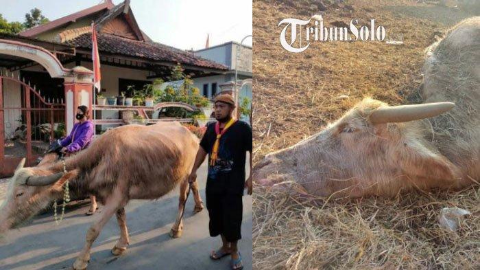 Maeso Kebo Bule Keraton Solo Mati, Disebut Keturunan Tertua Kebo Kyai Slamet