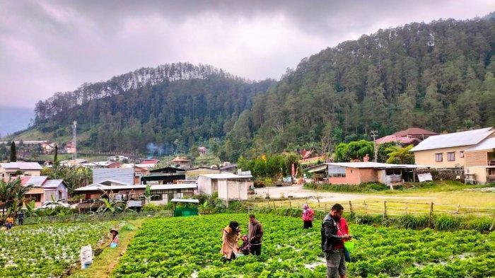 Wisata Petik Stroberi Jadi Alternatif Wisata di Tawangmangu, PPKM Omzet Malah Meningkat