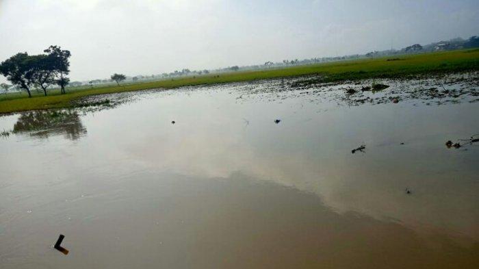 Tanggul Sungai Situri di Weru Jebol Lagi, 80 Hektare Sawah Terendam