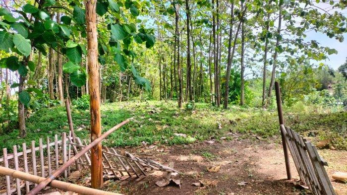 Kejadian Aneh di Tanah Keraton di Jenar Sragen, Ada Petaka Setelah Potong Bambu & Meninggal Dunia