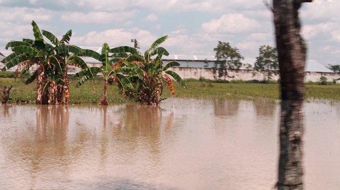 Pendangkalan Kali Langsur Bikin Banjir,400 Hektare Sawah di Kecamatan Sukoharjo Terancam Gagal Panen