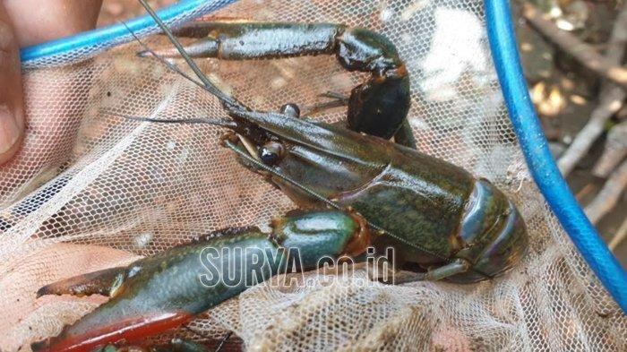 Melihat Harga Lobster di Pasar Dunia dan Lokal, Minatkah Anda Berbisnis Hewan Bercapit Ini?
