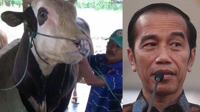 Cerita Mike Tyson Sapi Kurban Jokowi, Dibelikan Karpet Rp 2 Juta Agar Bisa Tidur Nyenyak