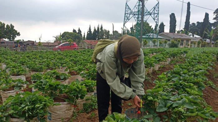 Musim Kemarau Saat yang Tepat Petik Buah Strawberry di Tawangmangu, Karanganyar