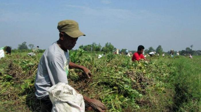 Tinggalkan Kampung untuk Mengungsi, Reban Petani Cabai Lereng Merapi Sambung Hidup dengan Jual Arang