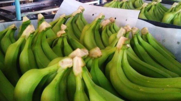 Tingkatkan Ekonomi Selama Pandemi, Warga Kedawung Sragen Ini Budidaya Tanaman Agro Pisang Cavendish
