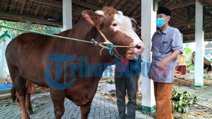 Penampakan 2 Sapi Kurban dari Jokowi di Masjid Agung & Masjid Al Wustho Solo, Beratnya 837 Kilogram