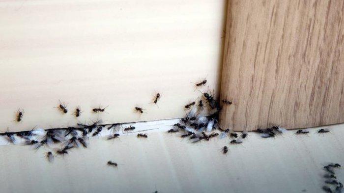 semut di dalam rumah