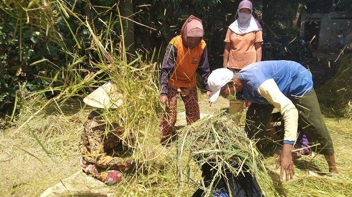 Harga Gabah di Karanganyar Anjlok, Bulog Tebar Pesona Beli 15 Ribu Ton Milik Petani, Ini Targetnya