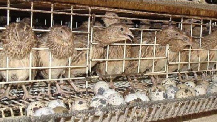 Beternak Burung Puyuh Juga Bisa Dilakukan Penduduk Kota Ini Keuntungannya Tribun Solo