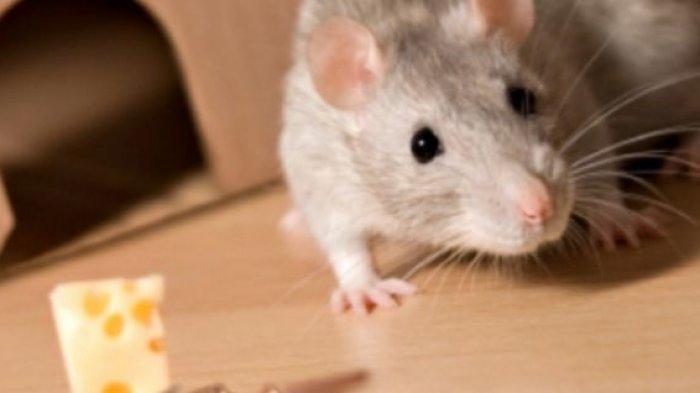 Jarang Diketahui, Inilah 6 Tanaman yang Bisa Mengusir Tikus di Rumah