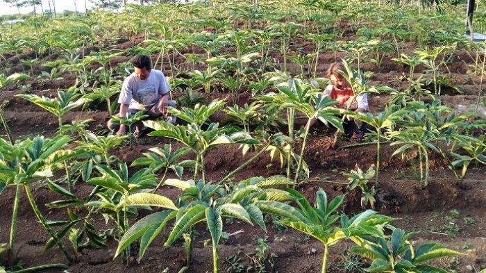 Kebun porang yang menjadi primadona bagi petani di Dusun Ngelundo, Desa Ngargoyoso, Kecamatan Ngargoyoso, Kabupaten Karanganyar, Selasa (11/5/2021).