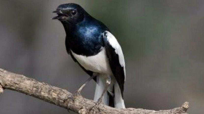 Coba Curi Burung Kacer Seharga Rp 16 Juta Di Solo David Rencana Mau Dijual Rp 500 Ribu Ke Pasar Tribun Solo