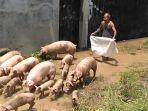 babi-babi-digiring-kembali-ke-kandang_20161129_175946.jpg