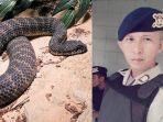 death-adder-ular-bripka-sahrondi-papua.jpg