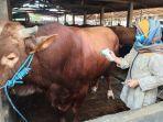 dokter-hewan-memeriksa-sapi-yang-dibeli-presiden-jokowi-di-pete.jpg