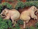 dua-ekor-gajah-yang-mabuk-setelah-minum-anggur.jpg