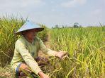 dukut-nyoto-pawiro-68-salah-satu-petani-yang-masih-bertahan-menanam-beras-hitam.jpg