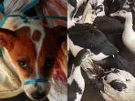 ilustrasi-anjing-yang-akan-disembelih-menjadi-santapan-dan-mentok.jpg