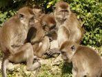 ilustrasi-kawanan-monyet-ekor-panjang.jpg