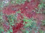 ita-perhatian-warga-berupa-tanah-mengeluarkan-cairan-merah-mirip-darah-segar-di-ta.jpg