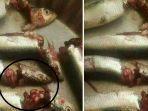 jenis-ikan-sardensardin-yang-ramai-diberitakan_20180726_113711.jpg