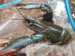 lobster-air-tawar-jenis-red-claw.jpg