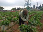 pengunjung-saat-memetik-buah-strawberry-di-kebun-stroberi-kalisoro-tawangmangu.jpg