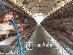 peternakan-ayam-di-klaten.jpg