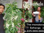 sosok-paiman-warga-tawangmangu-karanganyar-yang-jual-monstera-variegata-viral-seha.jpg