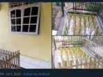 tanaman-padi-ditanam-di-teras-rumah-diberi-pagar-dan-beralaskan-keramik-viral-di-media-sosial.jpg